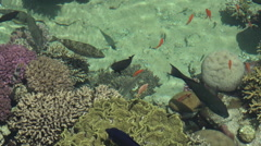Tropical fish swim in Coral  in Eilat, Israel Stock Footage