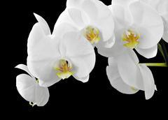 White Phalaenopsis orchid flowers Stock Photos