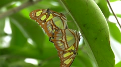 4K FHD UHD Butterflies Malachite (Siproeta stelenes) mating under leaf Stock Footage