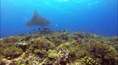 Huge Manta Ray in cleaning station with corals and fishes Full HD - stock footage