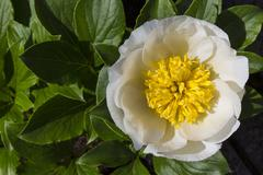 Flower - Paeonia Lactiflora - Chinese Peony - stock photo