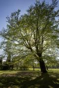 Beech Tree - Parkland - England - stock photo