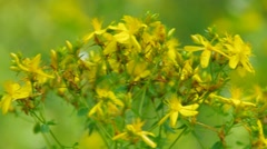 St Johns wort, a herbal plant Stock Footage