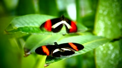 Excellent Closeup Butterflies courtship display mating Stock Footage