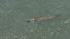 Swimming platypus Arkistovideo