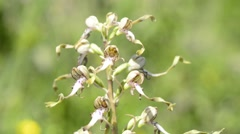 Lizard orchid in Germany Stock Footage