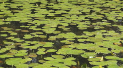 Water Lily Bird Song Pond Background Stock Footage