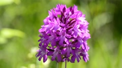 Pyramidal orchid in Germany Stock Footage