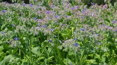Borage plants blooming in spring Stock Footage