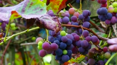 Red grapes in autumn vineyard Stock Footage