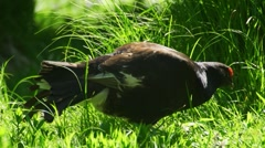 Black grouse in springtime Stock Footage
