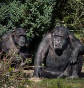 Chimpanzee - Zambia Kuvituskuvat