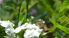 Close up footage of a hummingbird hawk-moth sucking the juice from a flower Stock Footage