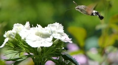 Footage of a hummingbird hawk-moth gathering food from a flower Stock Footage