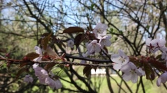 Beautiful Cherry Blossoms Tremble In Wind Stock Footage