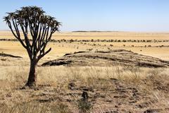 Quiver Tree - Namib Naukluft - Namibia Stock Photos