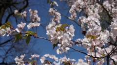 Beautiful Cherry Blossoms with a flying bumblebee Stock Footage