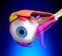 Eye Muscles Human Anatomy - Cross Section on blue background - stock photo