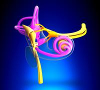 Inner Ear Anatomy on blue background Stock Photos