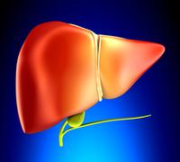 Liver Real Human Anatomy on blue background Stock Photos
