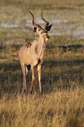 Stock Photo of Young male Kudu Botswana