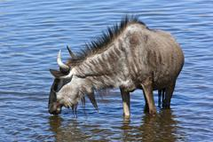 Wildebeest in a waterhole - Namibia Stock Photos
