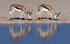 Springbok - Namibia Stock Photos