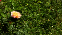 Yellow rose Stock Footage