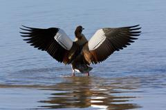 Egyptian Goose - Botswana - stock photo
