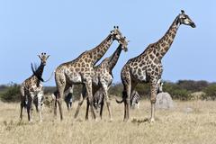 Giraffe and Zebra - Botswana - stock photo