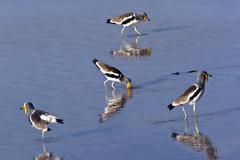 Rare African Wattled Lapwing - Botswana - stock photo