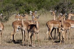 Stock Photo of Female Impala - Botswana