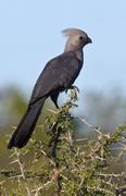 Grey lourie or Go-Away Bird - Botswana Stock Photos