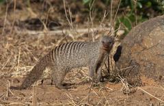 Stock Photo of Banded Mongoose - Botswana