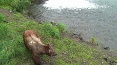 Brown Bear Boar With Scars From Fighting Turns Around & Heads Towards River Stock Footage