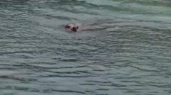 Sea lion swimming around Stock Footage