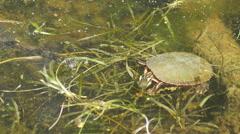 Feeding Painted Turtle Stock Footage