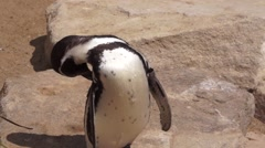Penguin Standing in the sun Stock Footage