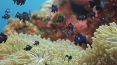 Dascyllus fish in anemone Stock Footage