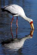 Yellow-billed Stork - Okavango Delta - Botswana Stock Photos