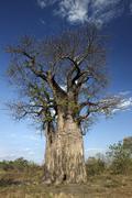 Baobab Tree - Botswana Stock Photos