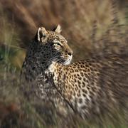 Leopard - Panthera pardus - Botswana - stock photo