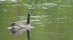 Canada Goose in Pond Calling Stock Footage