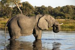 African Elephant - Loxodonta africana - Botswana - stock photo