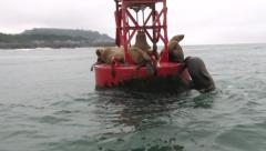 Wild Sea Lions on Buoy 1 Stock Footage