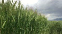 Agriculture wheat farm 16 Stock Footage