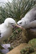 Black-browed Albatross mother feeding young - Falklands Islands - stock photo