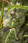 Buff-tailed Hummingbird - Boissoneaua flavescens - Ecuador - stock photo