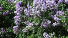 Lilac bush on a wind Stock Footage