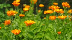 Orange calendula flowers in summer garden Stock Footage